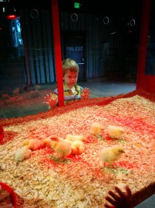 Funny...I don't have many pictures of my kids watching TV...so here's one of Jack checking out newly hatched chicks. I'm still a good mom, right??